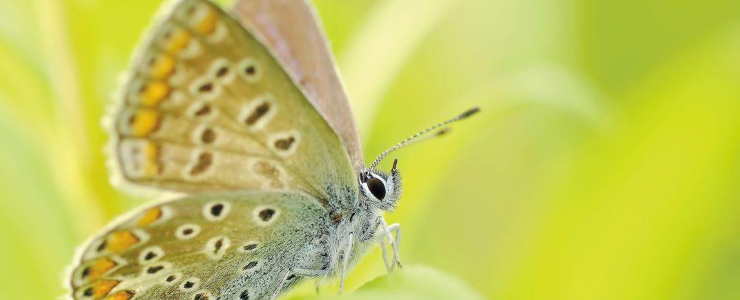 butterflies-insect-bezkregowiec-macro-nature